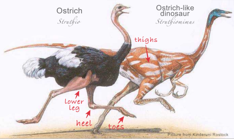 Ostrich and its dinosaur ancestor - limbs explained (where are thighs, lower legs, heel, toes?)